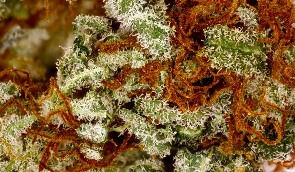 Kandy Kush strain cannabis