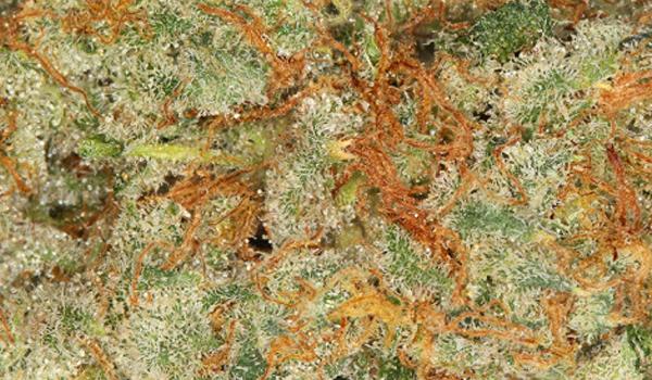 ak-47 strain cannabis