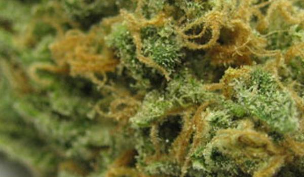 blue drean strain cannabis
